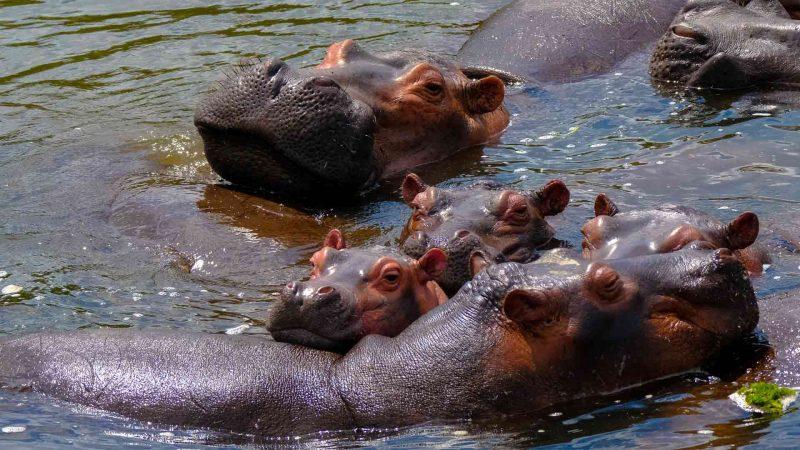 Thriving Hippo Family Pandabode