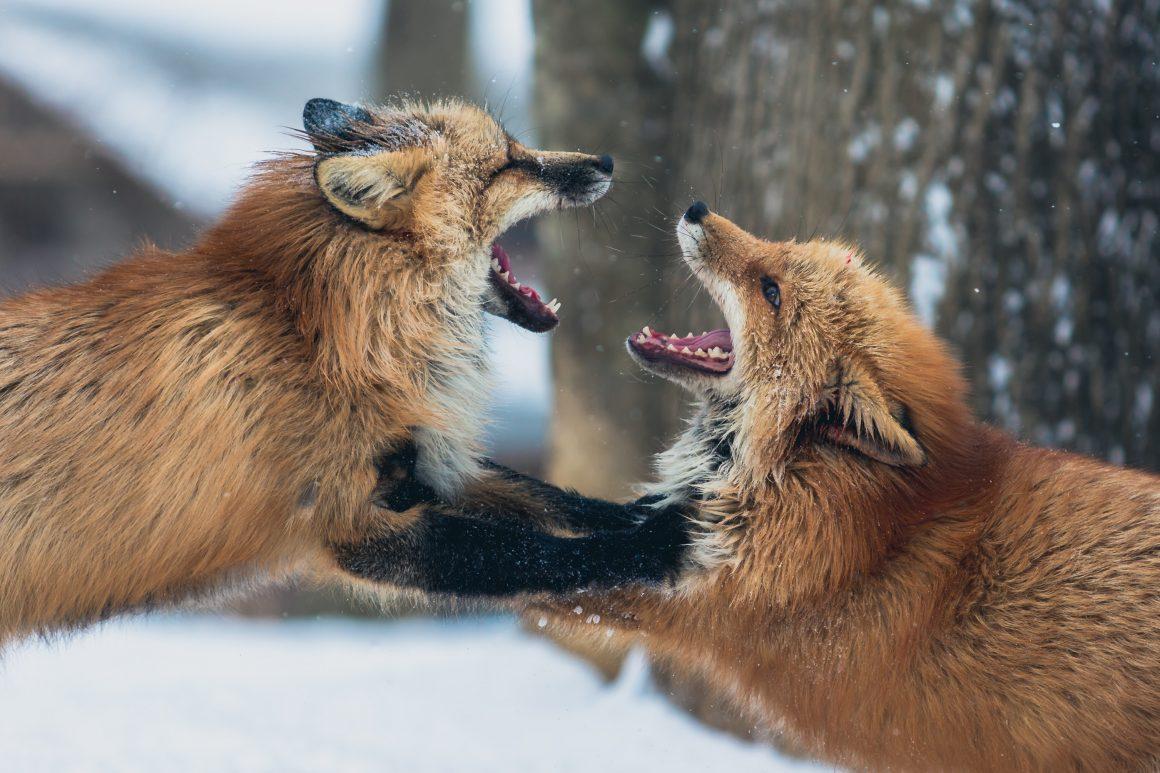 foxy argument